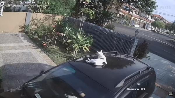 Malaysian Kitty Goes on Joyride Atop Owner's Car - Sputnik International