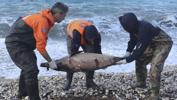 Dead dolphin - Sputnik International
