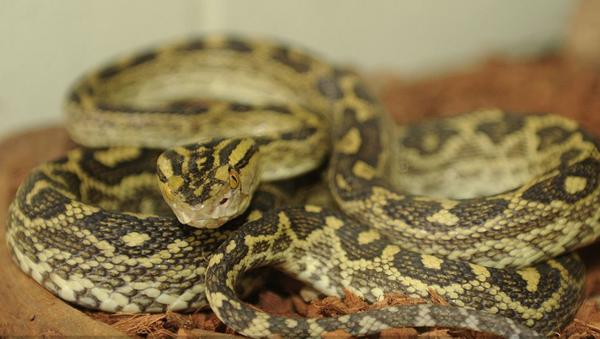 Habu snake - Sputnik International