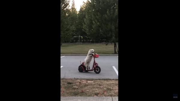 Spotted: Canadian Dog Shows Off Scooter Skills - Sputnik International