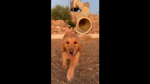 Flynn the Golden Retriever Takes on Playground Slide - Sputnik International