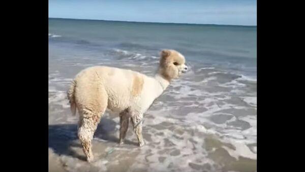 Alpaca Plays at the Beach   - Sputnik International