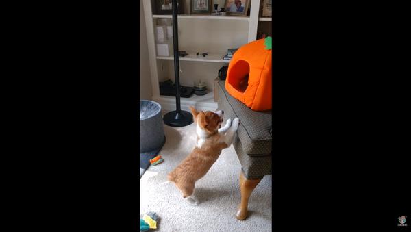 Corgi Pup Denied Attention by Fed-Up Cat - Sputnik International
