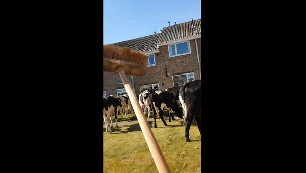 UK Woman Launches War on Garden-Eating Cows - Sputnik International