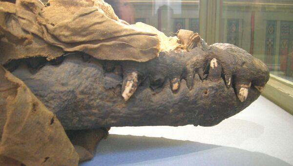 Crocodile mummy - Sputnik International