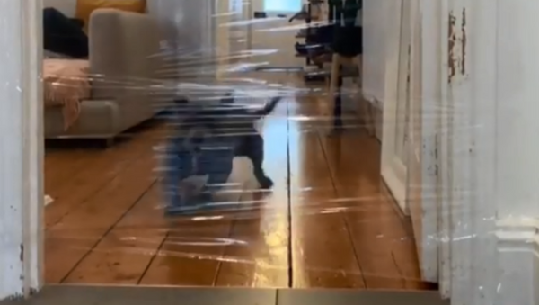 Silly Staffordshire Bull Terrier Gets Caught in Mom's Trickery - Sputnik International