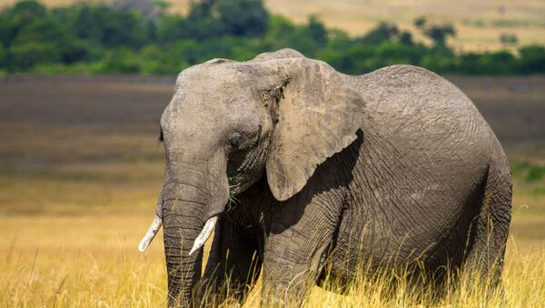 Elephant - Sputnik International