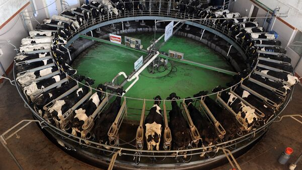 Holstein-Friesian breed cows are seen inside the rotary at the Bhagyalaxmi Dairy Farm located northeast of the Indian city of Pune on January 12, 2012 - Sputnik International