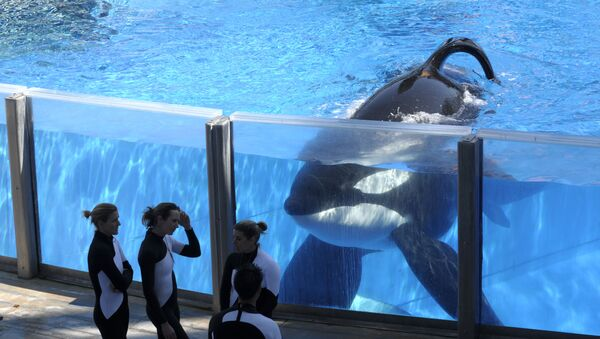 In this Monday, March 7, 2011, file photo, killer whale Tilikum, right, watches as SeaWorld Orlando trainers take a break during a training session at the theme park's Shamu Stadium in Orlando, Fla. SeaWorld is ending its practice of killer whale breeding following years of controversy over keeping orcas in captivity.  - Sputnik International