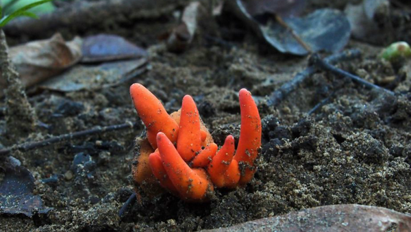 Image snapped by photographer Ray Palmer captures the first recorded instance of the deadly Poison Fire Coral fungus in Australia - Sputnik International
