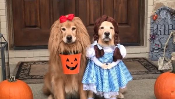 Adorable Golden Retrievers Don 'Wizard of Oz' Costumes - Sputnik International