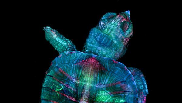 Снимок Fluorescent turtle embryo американских фотографов Teresa Zgoda & Teresa Kugler, ставший победителем в фотоконкурсе Nikon Small World 2019 - Sputnik International