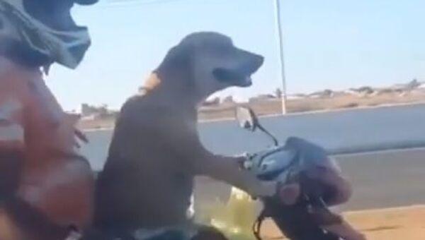 Dog riding motorcycle on a highway - Sputnik International