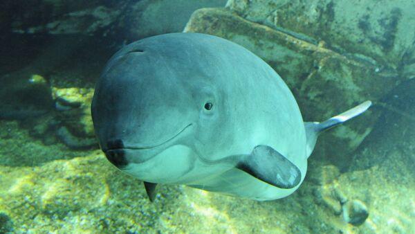 Harbour porpoise (Phocoena phocoena)  - Sputnik International