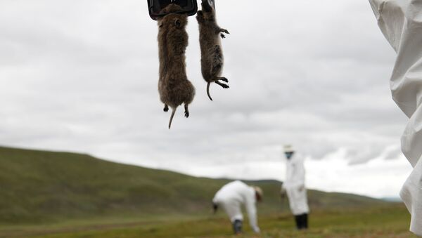 A member of the plague prevention team under a local disease control and prevention centre holds rodents on a grassland in Serxu county, Garze Tibetan Autonomous Prefecture, Sichuan province, China August 28, 2019 - Sputnik International