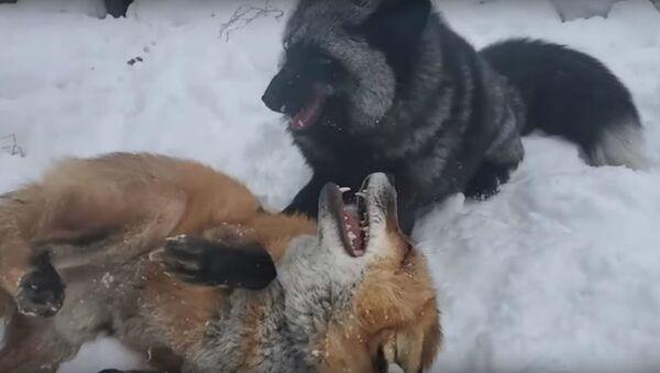 Foxes Playing  - Sputnik International