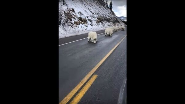 White Mountain Goats Wyoming  - Sputnik International