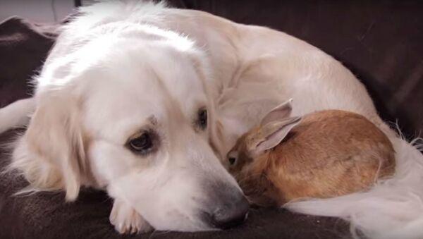 Love Knows No Bounds: Golden Retriever, Rabbit Make Best of Friends - Sputnik International