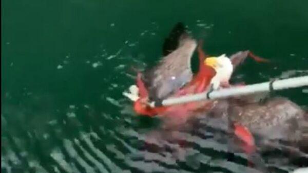 Prey Becomes Predator: Bald Eagle Caught in Octopus Death Grip in Canada   - Sputnik International