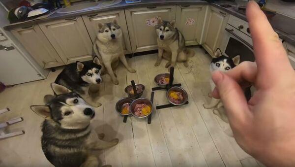 Well-Behaved Husky Pack Eats in Unison - Sputnik International