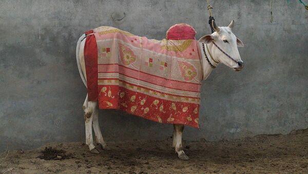 Cow with a cloth piece on top - Sputnik International