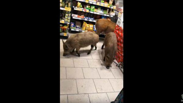 Hogwild: Escaped Pigs Explore Russian Supermarket - Sputnik International