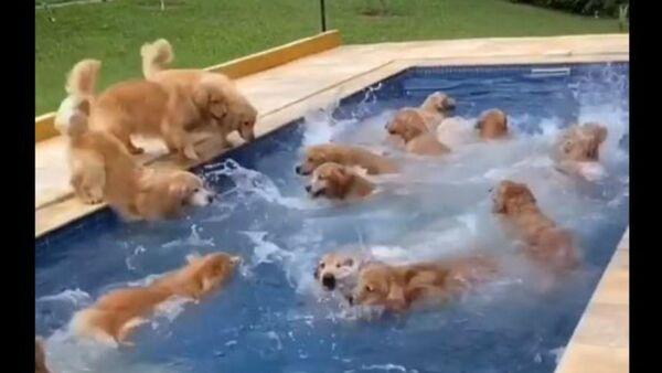 Puppy Pool Paradise: Dozens of Golden Retrievers Enjoy Wet Fête - Sputnik International