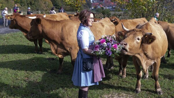 cow's headdress before driving the beasts on a dirt road during the return of the cattle from the summer pastures in the Rhoen mountains near the Bavarian Frankish village Ginolfs, Germany - Sputnik International