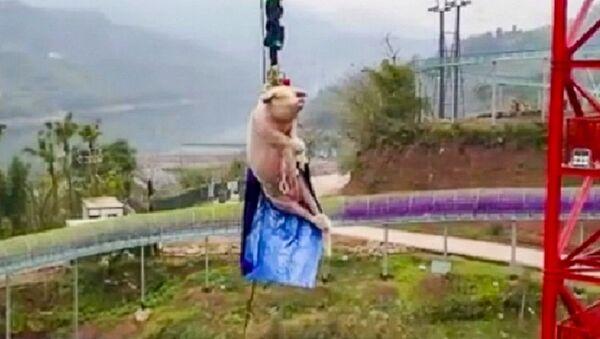 Chinese theme park's bungee-jumping pig stunt prompts backlash on social media - Sputnik International