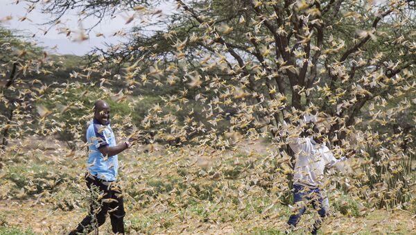 Swarm of desert locusts near the village of Sissia, in Samburu county, Kenya - Sputnik International