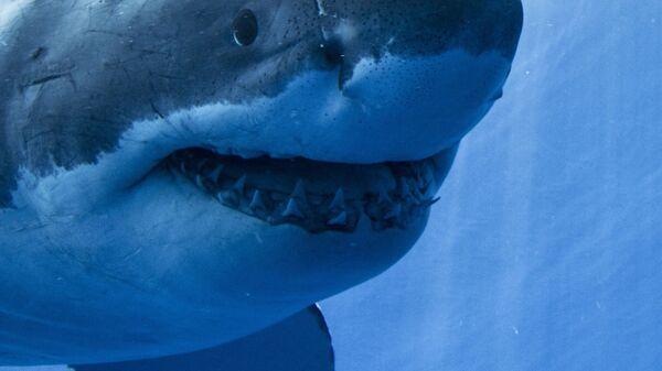 Guadalupe Island Great White Shark Face On - Sputnik International
