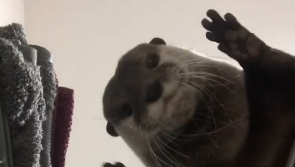 Put Me In, Coach! Cute Otter Plays Game of Pass the Ball - Sputnik International