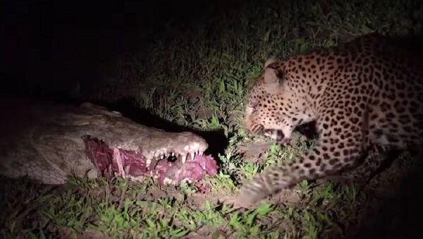 Wild Luangwa Moments - Leopard steals food from croc in South Luangwa National Park - Sputnik International