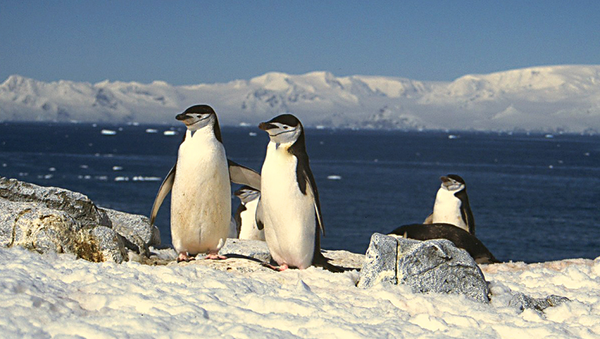Chinstrap Penguins vie for the first exposed rock during the austral summer. This advantage of early nesting enhances the success of raising young. - Sputnik International