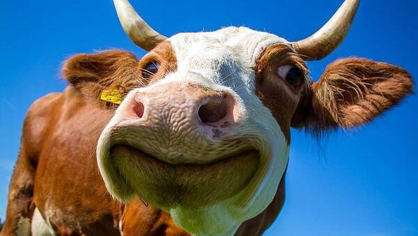White and Brown Cow - Sputnik International