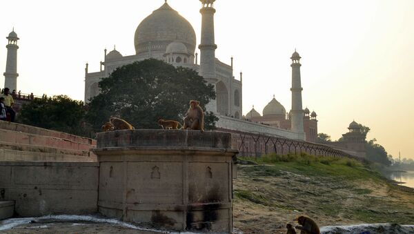 This photo taken on November 13, 2018 shows macaques monkeys gathering near the Taj Mahal monument in Agra in India's Uttar Pradesh state. - Indian police said November 15 they were actively looking into the suspected killing of an infant by a monkey after it snatched him from his mother's arms in Agra, the city of the Taj Mahal - Sputnik International