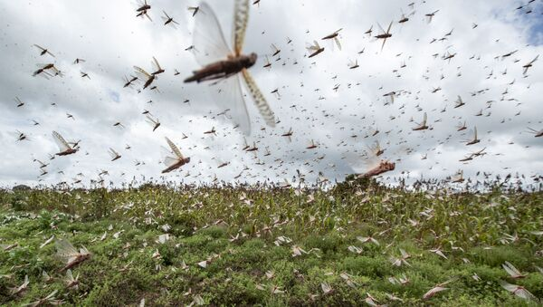 Desert locusts have swarmed into Kenya by the hundreds of millions from Somalia and Ethiopia, countries that haven't seen such numbers in a quarter of a century, destroying farmland and threatening an already vulnerable region. - Sputnik International