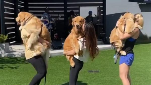 Dancing the Day Away: Golden Retrievers Frolic at the Park  - Sputnik International
