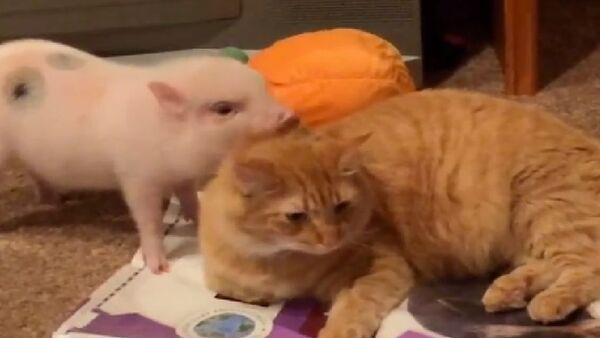 Cat and Pig - Sputnik International