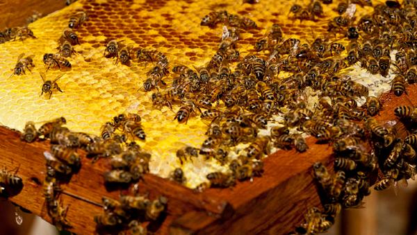 Swarm of Africanized honey bees - Sputnik International