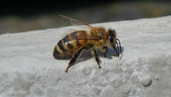 A Western honey bee drinks water from a wet stone - Sputnik International