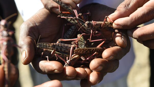 Villagers hold locusts affected by insecticides near Miyal village in Banaskantha district some 250km from Ahmedabad on 27 December 2019 - Sputnik International