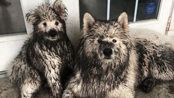 Dirty Doggos: Samoyed Siblings Get Covered in Mud  - Sputnik International