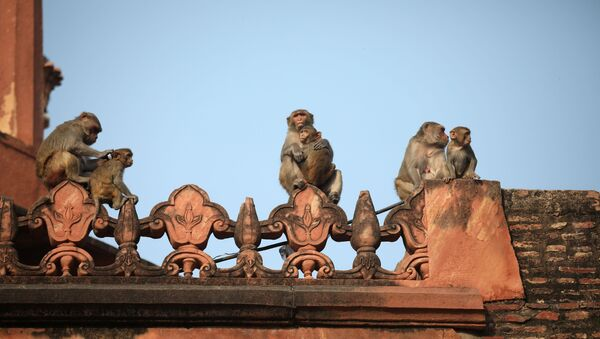 Monkeys rest on a boundary wall of the historic Taj Mahal, where U.S. President Donald Trump and first lady Melania Trump are scheduled to visit, in Agra, India, February 24, 2020. - Sputnik International