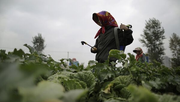 Farmers spray fertilizer on cabbage crops which will be harvested early next month and used mainly to make Kimchi at the Chilgol vegetable farm on the outskirts of Pyongyang, North Korea, Friday, Oct. 24, 2014 - Sputnik International