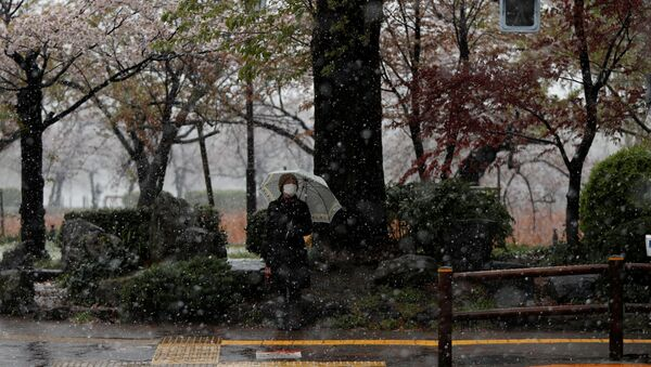 A woman wearing a protective face mask waits for a traffic signal near blooming cherry blossoms in a snow fall - Sputnik International
