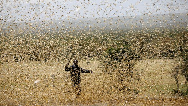 A man attempts to fend-off a swarm of desert locusts at a ranch near the town of Nanyuki in Laikipia county, Kenya, February 21, 2020 - Sputnik International