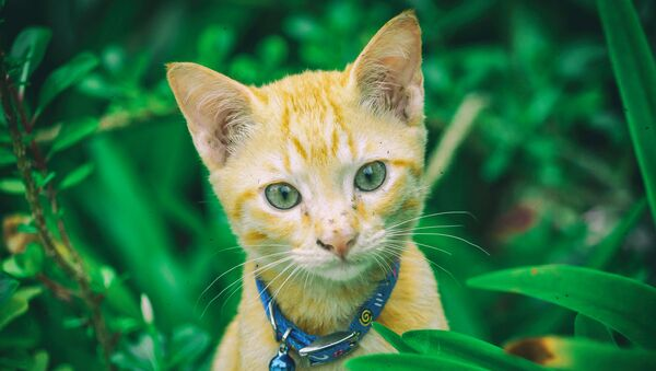 Cat in green bushes with bell around its neck - Sputnik International