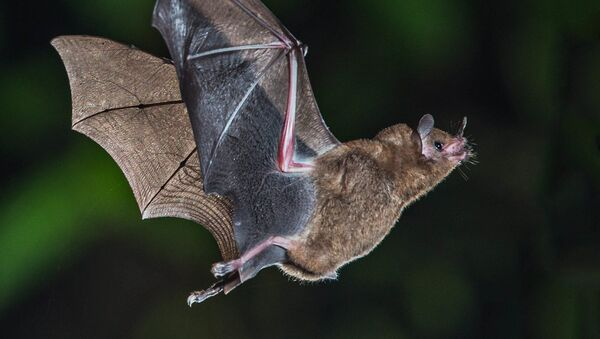 Short-tailed Fruit Bat - Sputnik International