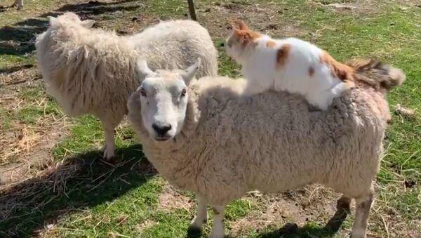 Helpful Kitty Massages Expecting Sheep's Back  - Sputnik International